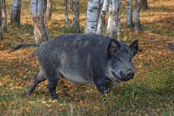 Lübeck Wildschweine Kradfahrer